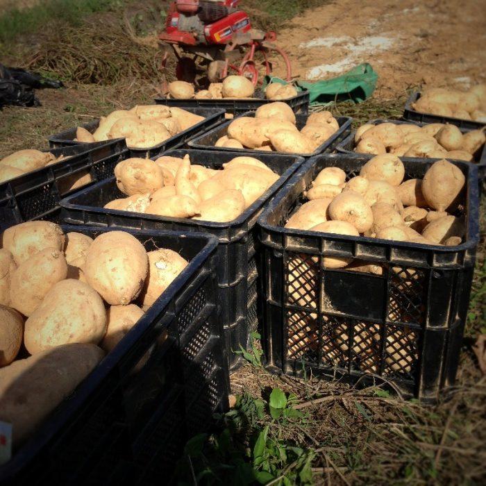 上甑島の芋