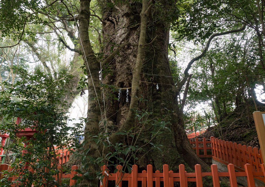 新田神社の大樟
