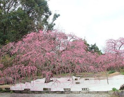 古い記事: 薩摩川内市高江町のしだれ梅