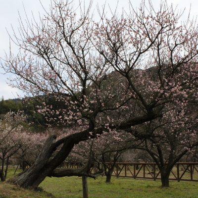 古い記事: 2016年藤川天神の臥竜梅の開花状況について