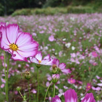 古い記事: 花と緑の西川内フラワーロード向日葵&コスモス 10月