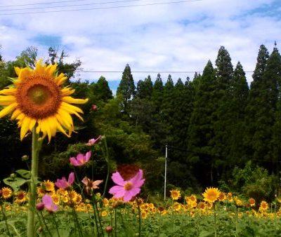 古い記事: 花と緑の西川内フラワーロード向日葵&コスモス
