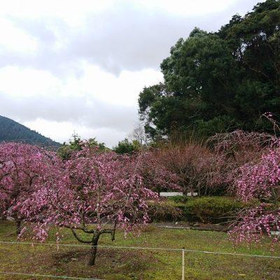 古い記事: 薩摩川内市高江町・水引町のしだれ梅