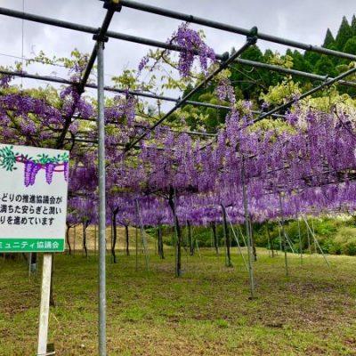 古い記事: 【藤本滝公園】藤の花が満開です!