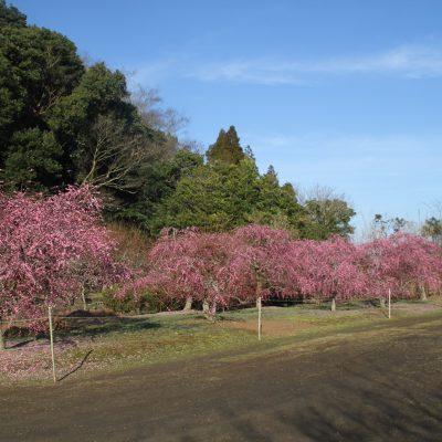 古い記事: 【梅】薩摩川内市梅情報2019.02.12