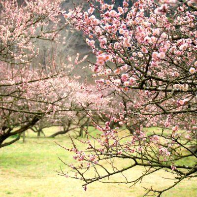 古い記事: 【梅】薩摩川内市梅情報2019.02.25