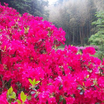 古い記事: 【2019年】藤本滝公園の藤の花とツツジが満開です!!