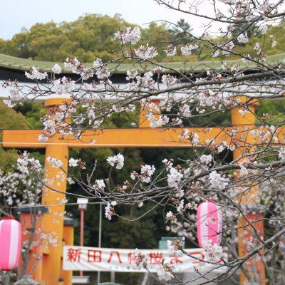 古い記事: 【桜情報】平成31年4月3日薩摩川内市桜開花情報
