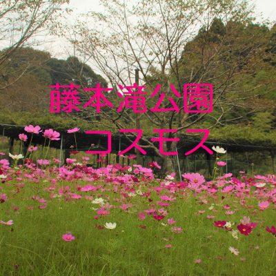 古い記事: 藤本滝公園のコスモス