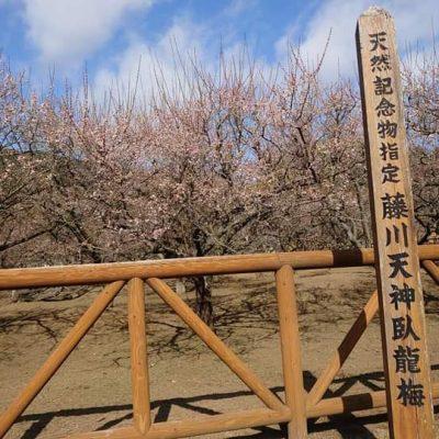 古い記事: 藤川天神梅情報(2021年2月21日時点)