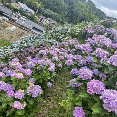 古い記事: 西川内の紫陽花が見頃を迎えています!